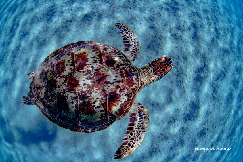 加計呂麻島アオウミガメ